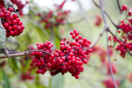 eberesche: Rowan tree