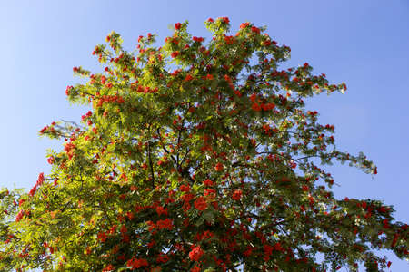 rowan tree: Rowan berries on rowan tree in summer with green leaves