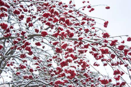 rowan: Red winter Rowan