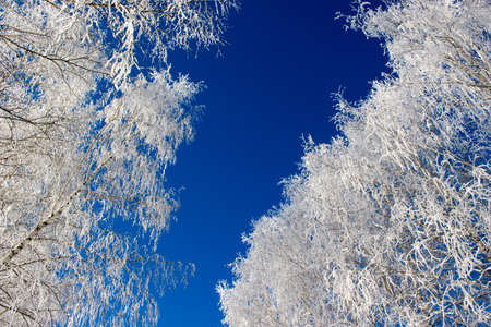 frost winter: Tree branches under the snow Stock Photo