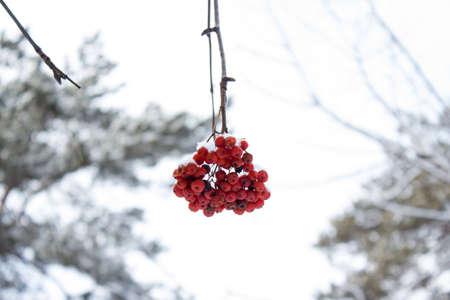 eberesche: Red Winter Rowan