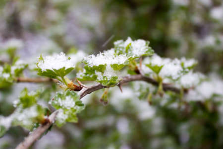 Green gooseberry leaves under the snow