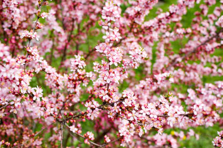 The branches of a flowering almond Stock Photo