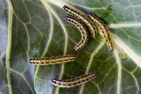 pieris: Caterpillar on green leaf cabbage