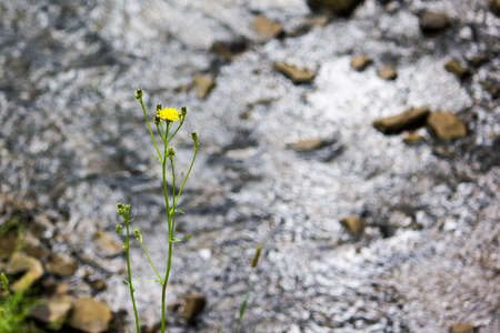 A lone flower on a background of a mountain river