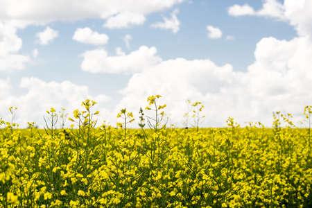 Flower of a rapeseed field under blue sky
