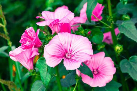 Pink Petunia flower in summer garden