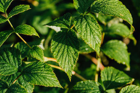Green leaves with dew on raspberry bushes early in the morning. Fresh leaves after rain.
