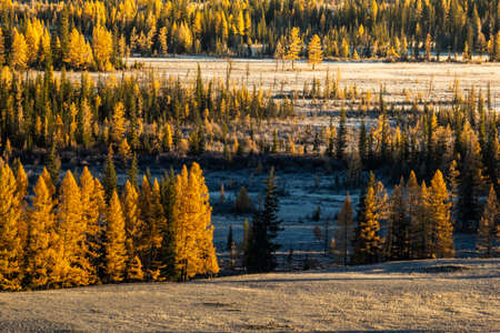 Bright yellow larches. The atmosphere of golden autumn in Altai. Change of seasons, forest in September.