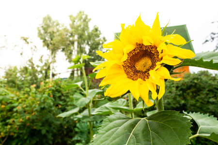 Sunflower grows in garden. Summer joyous flower, symbol of sun