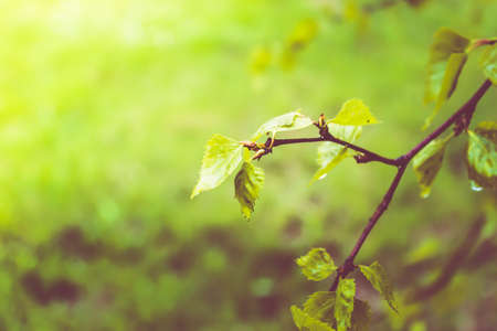 Ground green leaves in birch spring forest.