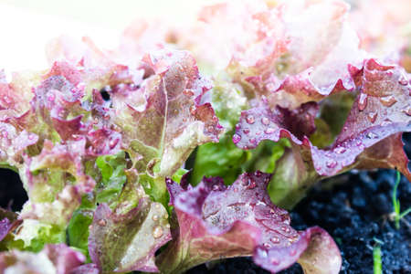 Burgundy lettuce leaves with drops of dew grow out of ground in garden. Healthy nutrition, vegetarianism. Ingredient for salad.