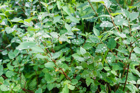 Water drops on green leaves. Rain in forest. Dew on trees early in morning