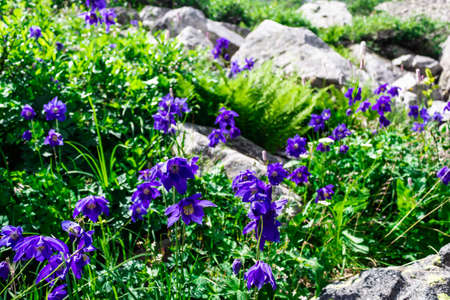 Violet flowers among grass and stones