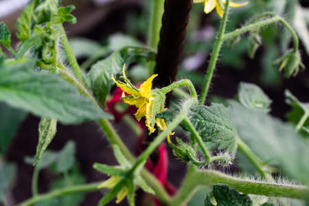 Yellow flower of tomato in garden. Growing vegetables for vegans