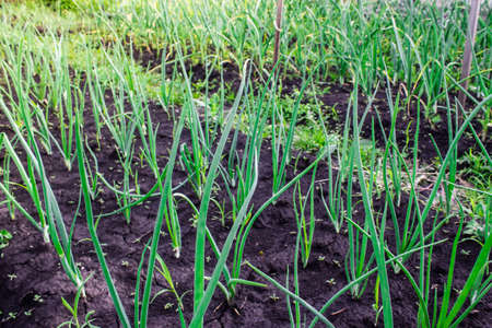 Fresh garlic and onion sprouts grow from the ground. Gardening, harvest in the garden. Healthy and vegetarian food Imagens