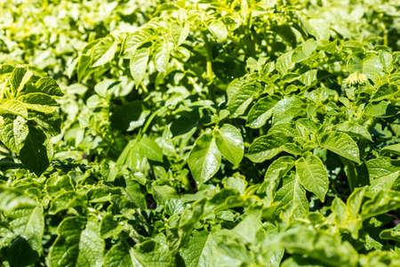 Potato leaves. The plantation of potatoes in garden. Farm grows vegetables for vegetarians