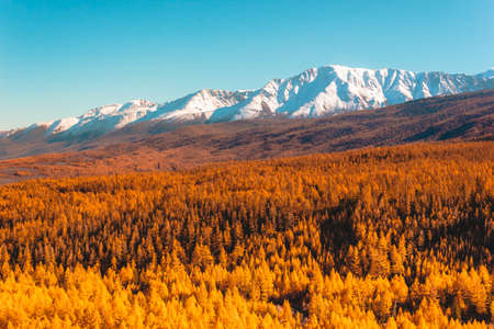 Golden autumn in mountains. Panoramic view of mountain snow ridge and yellow larches. Travel Altai.