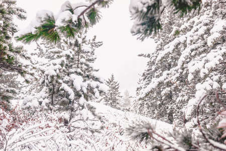 Pines under snow in winter forest Imagens