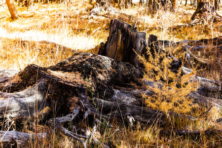 Old wooden stump in autumn forest