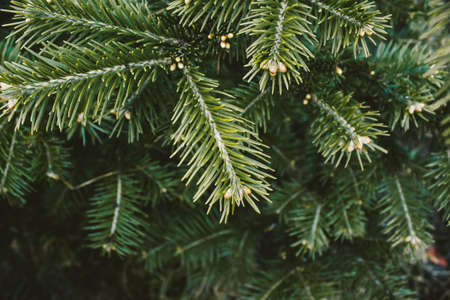 Branch of green pine, spruce or cedar in forest.