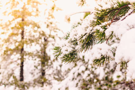 Winter in coniferous forest. Snow on pines, cold weather and frost Imagens