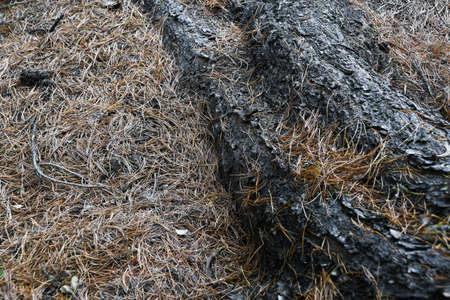 Dry roots of trees in coniferous forest