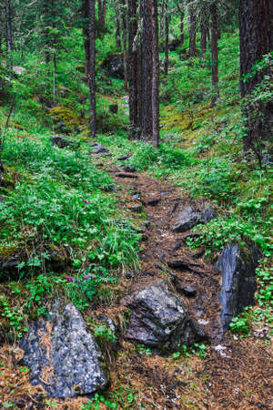Forest trail with tree roots. Hiking in coniferous forest
