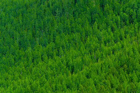 Hillside is overgrown with green forest. Pine taiga as background of trees