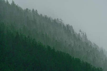 Soft fog on hillside. Haze on mountain in coniferous forest after rain