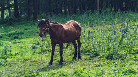 bay horse grazes on green meadow on summer day Stock fotó