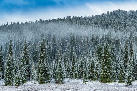 winter coniferous forest in frosty haze, fog over snowy peaks of pines