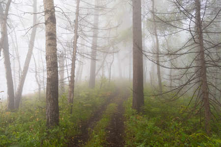 early morning in summer forest, dirt road in mystical fog, haze in branches of trees