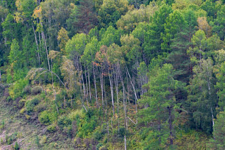 green carpet of trees on hillside, dense coniferous forest as background Imagens