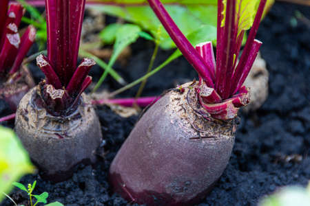 beetroot with green leaves grow on bed in summer garden, growing food for vegetarian dishes