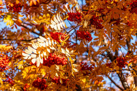 branch tree with yellow leaves with red berries of mountain ash, autumn atmosphere of forest Imagens