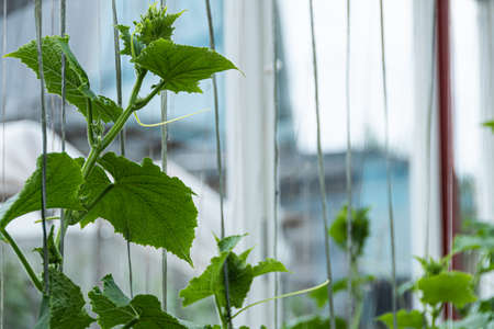 Green cucumber shoots with leaves in farmer greenhouse, young cucumber bushes without fetus