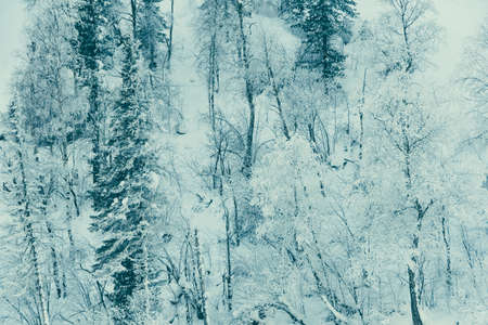 Snow trees on hillside. Fairy forest with frost on branches of pine trees. Winter dark and misty forest on the hillside