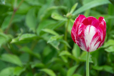Red tulip bud on background of green leaves in garden