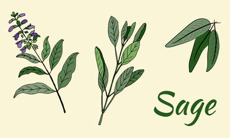 Vector drawing of sage. Branch of sage, leaves and flowers of sage. Isolated medical flower and leaves. Botanical plant illustration.