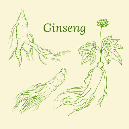 Drawing of leaves and root of ginseng. Ginseng root and berry vector drawing. A sketch of a medicinal plant. Linear graphic design. Vector Illustratie