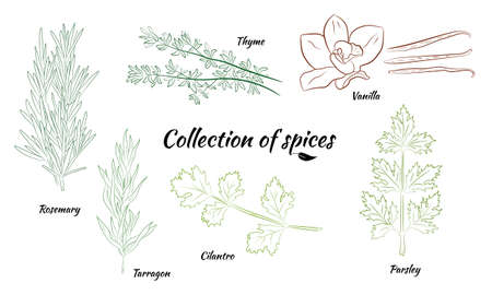 Drawn herbs and spices set. Sketsh of natural spices and kithen herbs. Botanical illustrations of aromatic plants.