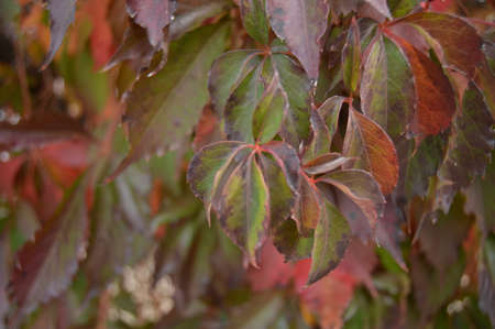 red and green leaves of tree in nature
