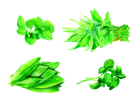 Vegetables painted watercolor. Basil, parsley, mint, lettuce on white background