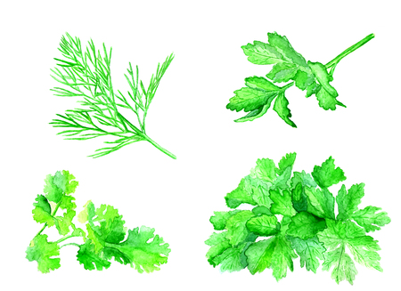 Vegetables painted watercolor. Dill, parsley, mint, lettuce on white background