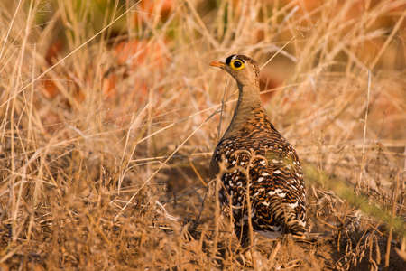 grouse: Double banded sand grouse