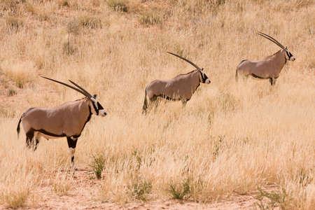 herbivore: Three Gemsbuck Oryx antelope in the Kgalagadi