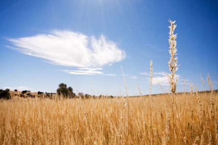 Scene with sun rays shining down on golden field photo