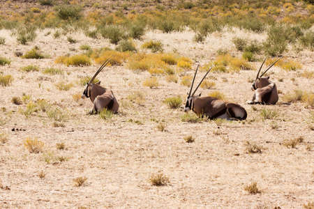 Three Gemsbok antelope lying and resting in the Kalahari photo