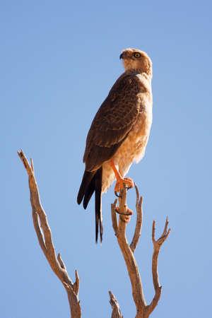 Alert Tawny eagle sitting on dead tree photo